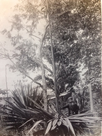 This photo shows Senor Adolphe Tonduz beside a towering Furcraea growing in the botanical garden of the Museo Nacional de Costa Rica.