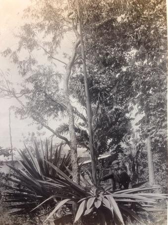 This photo shows Senor Adolphe Tonduz beside a towering Furcraea growing in the botanical garden of the Museo Nacional de Costa Rica.